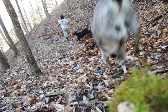 Raking leaves with goats