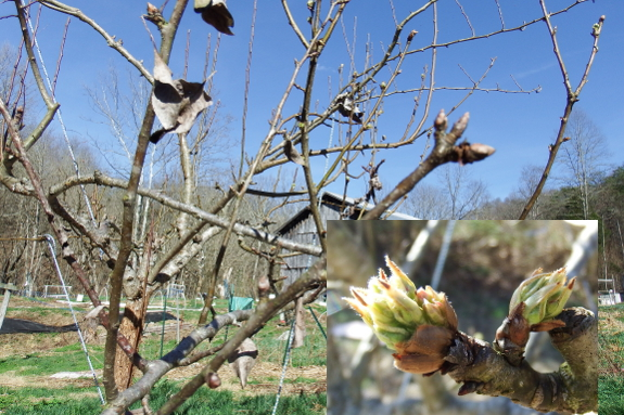 Opening pear buds