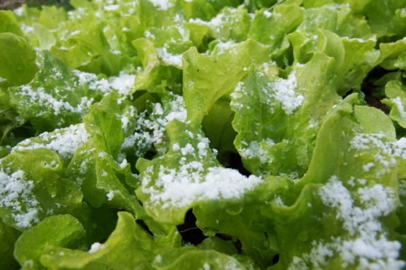 close up of snow on lettuce