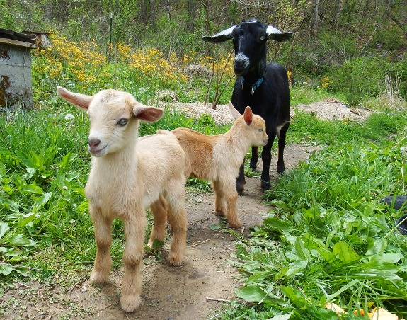 cute goat kids with goat mom in background