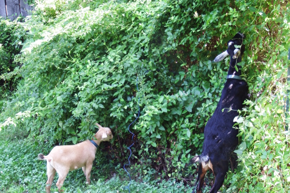 Goats grazing hedge