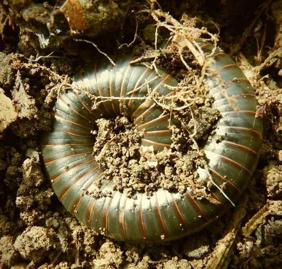 Millipede in the garden.