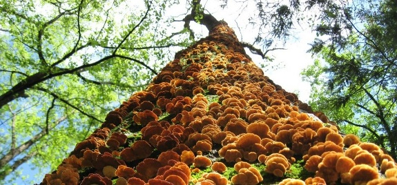 Mushroom mountain climbs up a tree.