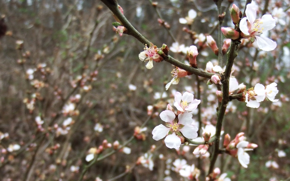 Nanking cherry bloom