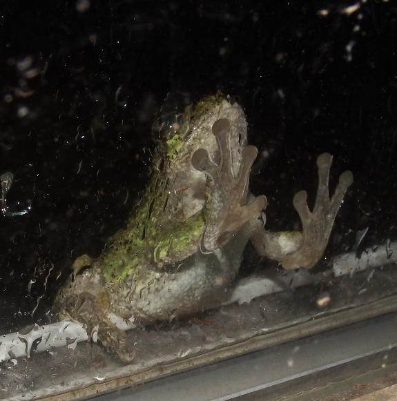 Tree frog on window