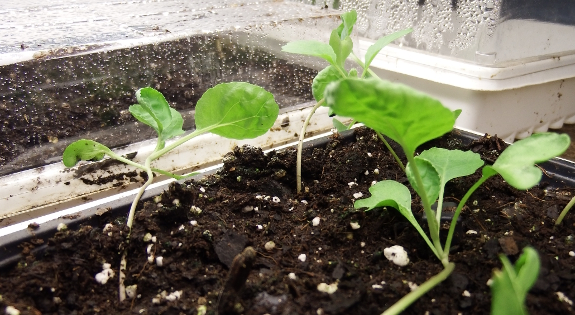 Brussels sprout seedlings