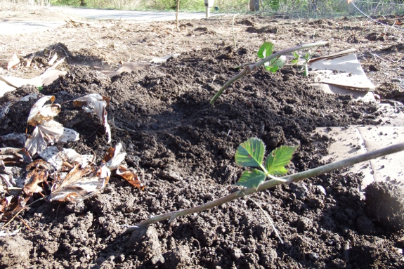 Transplanted blackberries