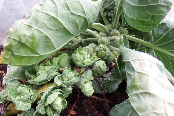 Brussels sprouts bolting