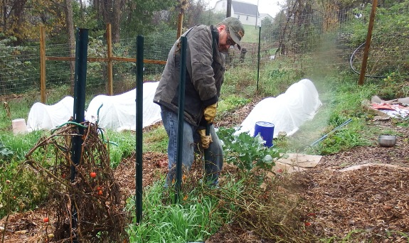 Pulling up U-posts from the garden.
