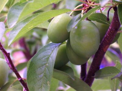 Fruit Tail Tree