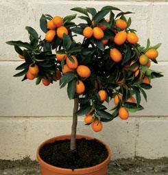 Like Meyer Calamondin Orange